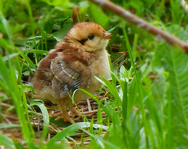 Baby Chick Exploring the World.