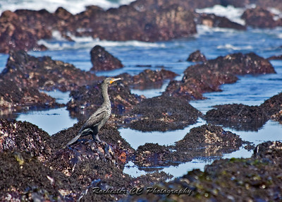 Double-Crested Cormorant searching the tide pools on the pacifac coast.
