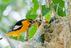 Male bullocks oriole feeding feeding a chick.