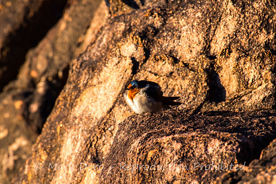 Welcome Swallow puffed up against the morning chill, Boat Harbour, New South Wales