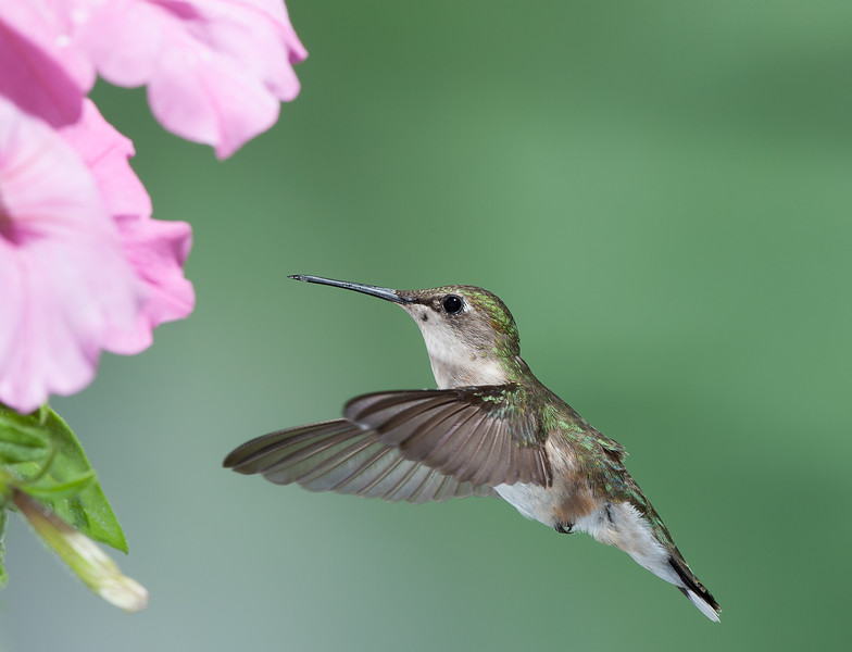 Ruby Throated Hummingbird _ female