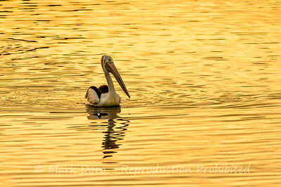 Pelican in late afternoon light, Altona, Victoria