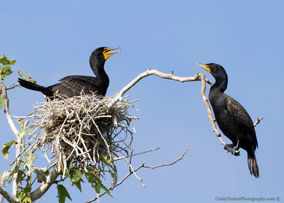 Double-crested Cormorants nesting