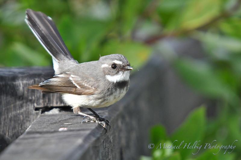 Grey Fantail - Australia