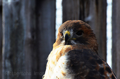 Reds Tailed Hawk