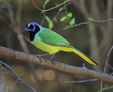 Green Jay, South Texas border.