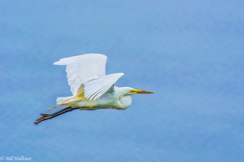 Common Egret at Bodega Bay 6-1-14 #7