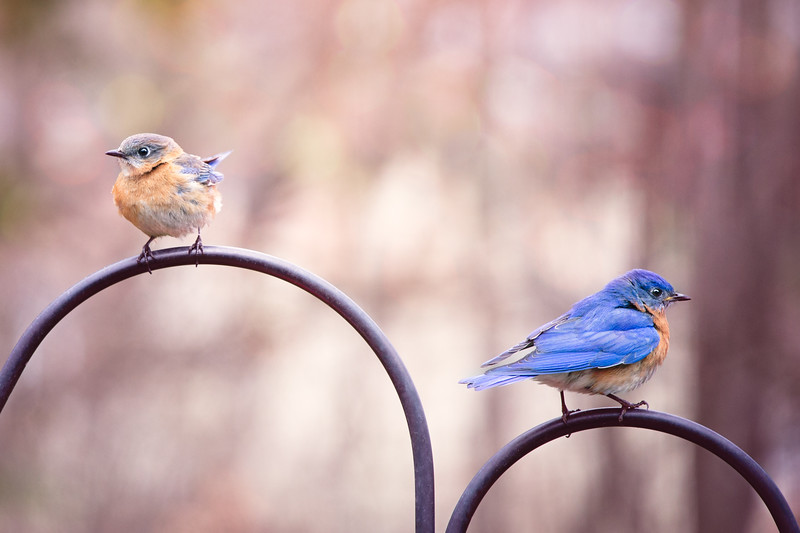 2018 February Female and Male Bluebird  St. Louis