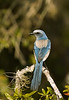 Scrub Jay, Canaveral National Seashore, Florida