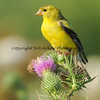 American Goldfinch   This photograph is protected by the U.S. Copyright Laws and shall not to be downloaded or reproduced by any means without the formal written permission of Bob Arkow Photography.