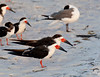 Black Skimmers - Lido Key beach - Sarasota, Florida