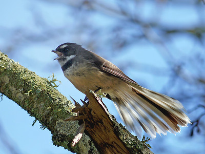 Singing Fantail