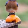 Bluebird Orange