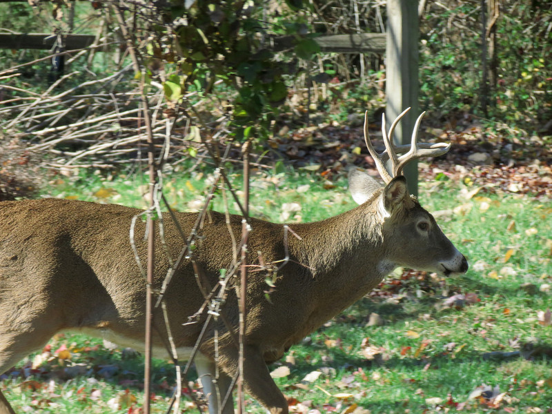 A visitor in the back yard today - November 12.<br /> This turned out pretty good despite being taken through two glass doors.