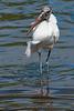 Wood Stork, Orlando
