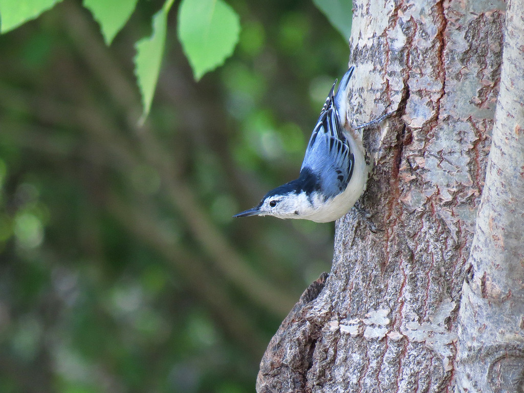 Another picture of the almost-blue Nuthatch.