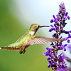 Hummingbird on Mystic Spires Salvia  4
