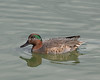 Green-winged Teal (Anas crecca) in the Lagoon on Radio Road, Redwood Shores, CA