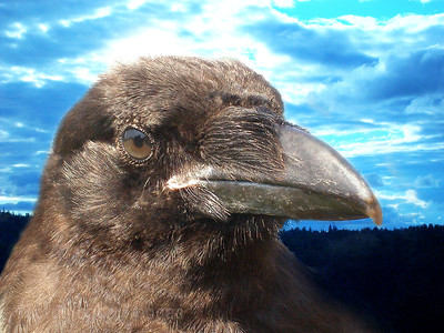 Close Up Of A Raven