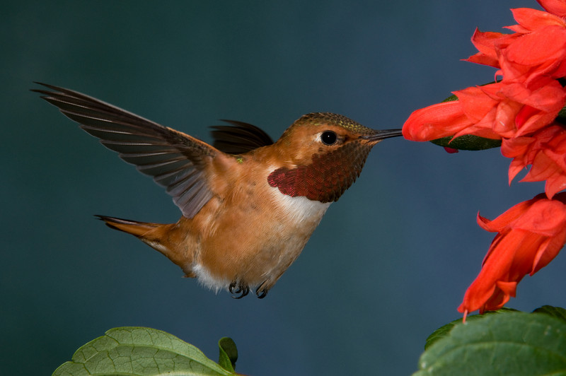 Male Rufous Hummingbird.