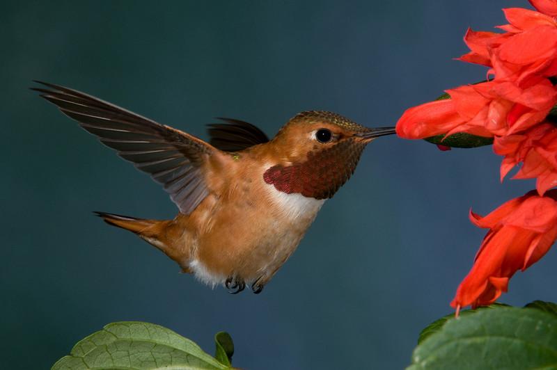 Male Rufous Hummingbird.