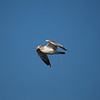 Gull at Alamitos Bay - 26 Nov 2010