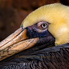 Profile of a Brown Pelican