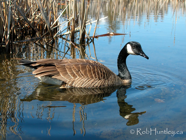 Canada goose. Branta canadensis. © Rob Huntley