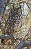 African Spotted Eagle Owl, NamibRand Nature Reserve, Namibia