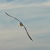 Seagull InFlight-1 Dennis.jpg