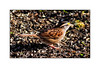 White-throated Sparrow (tan-striped)<br /> (Zonotrichia albicollis)
