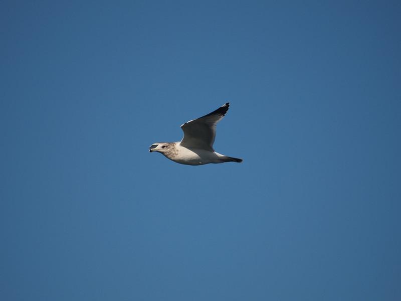 Gull at Alamitos Bay - 26 Nov 2010