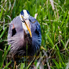 Great Blue Heron Lunch
