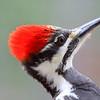 """  Red on the Head "" Female Pileated Woodpecker (Dryocopus pileatus)"