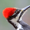 """  Red on the Head "" Female Pileated Woodpecker (Dryocopus pileatus)"