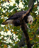 Bald Eagle with fish<br /> Susquehanna River<br /> November 2008