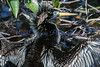 Anhinga,<br /> mating coloration