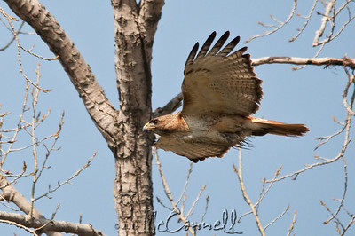 Redtail Hawk In-flight
