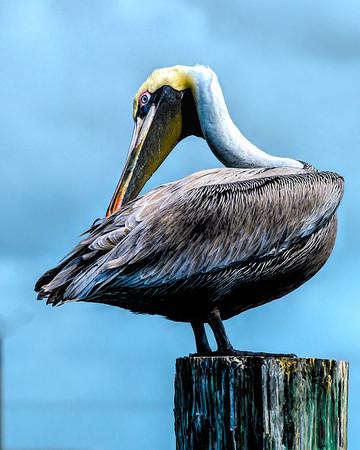"""'Pelican Preening"""""""