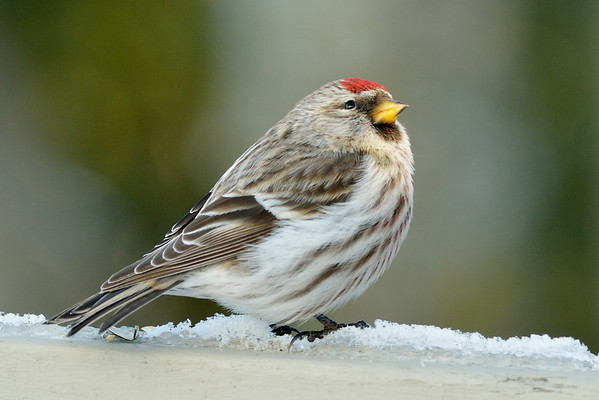 Pic of the Month (Dec 2012) - Winter visitor in the backyard - Common Redpoll