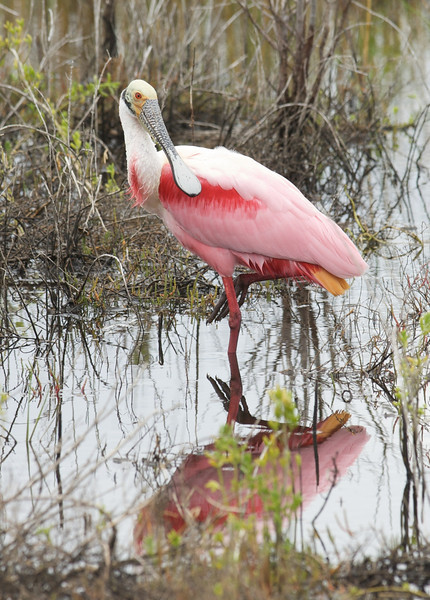 Roseate Spoonbill, Merritt Island National Wildlife Refuge, Florida