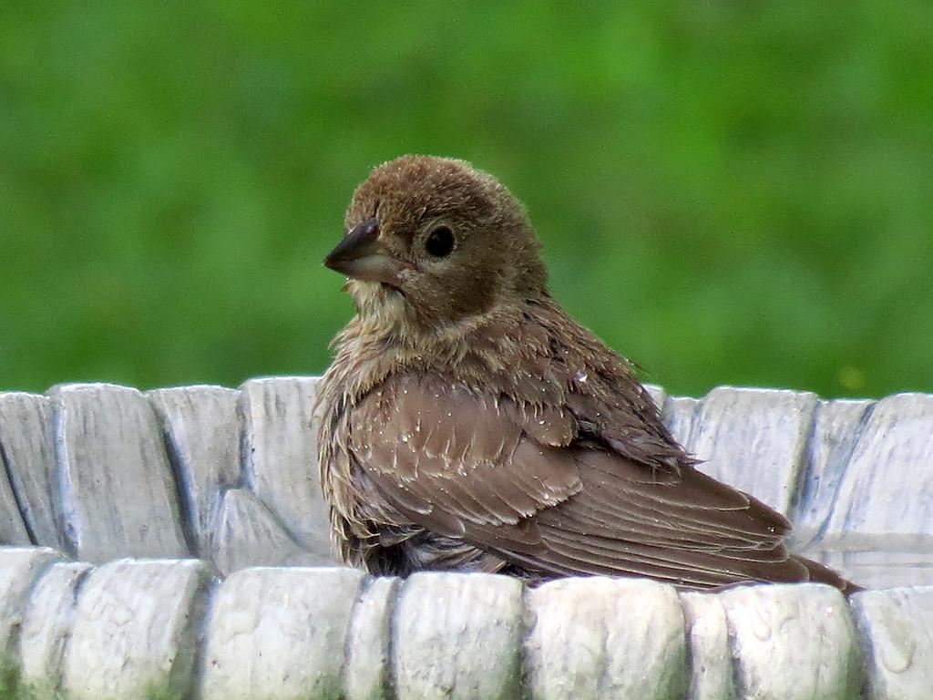 Baby Cowbird taking a bath.