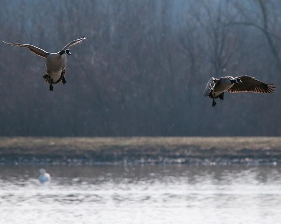 Canada Geese, Aylmer