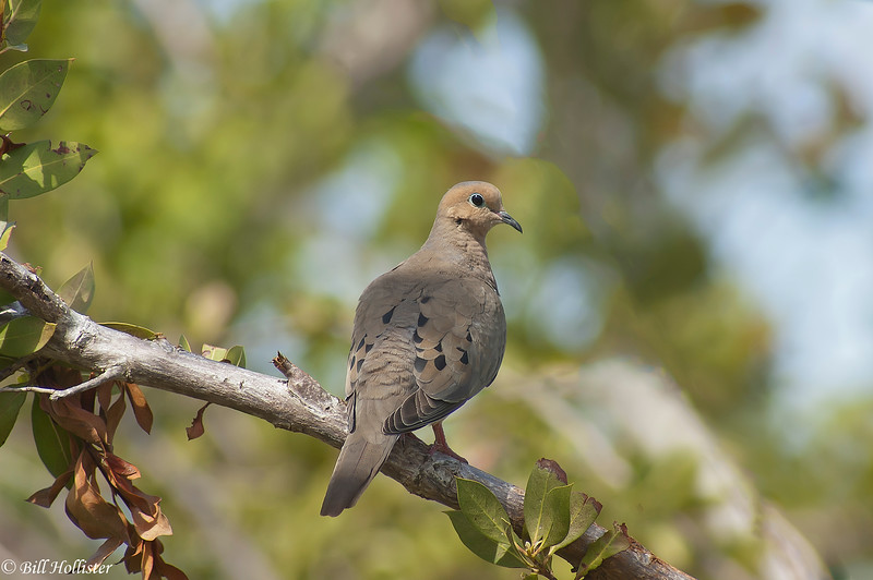 Mourning Dove #1