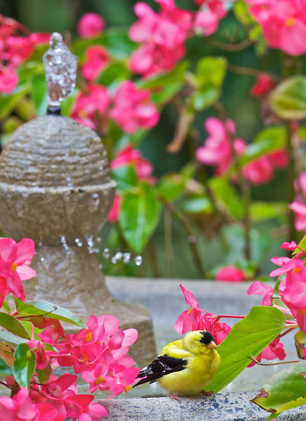 Goldfinch napping on the fountain, Rockville, Maryland
