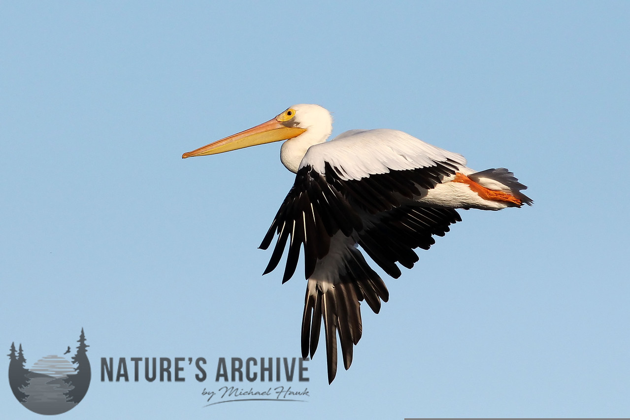 American White Pelican, Charleston Slough, CA