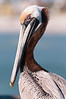 Brown Pelican, Clearwater