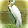 Egret in Dominican