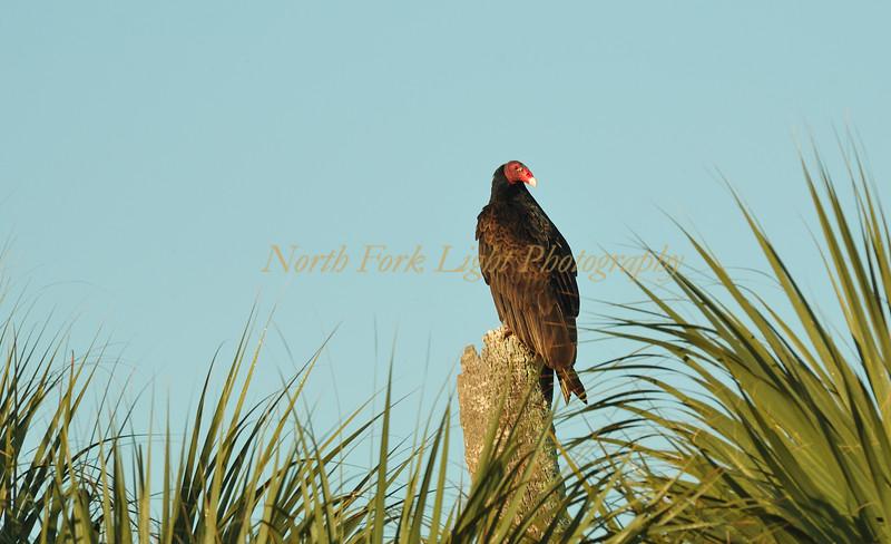 Turkey vulture in Loxahatchee Preserve, Florida