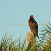 Turkey vulture in Loxahatchee Preserve, Florida